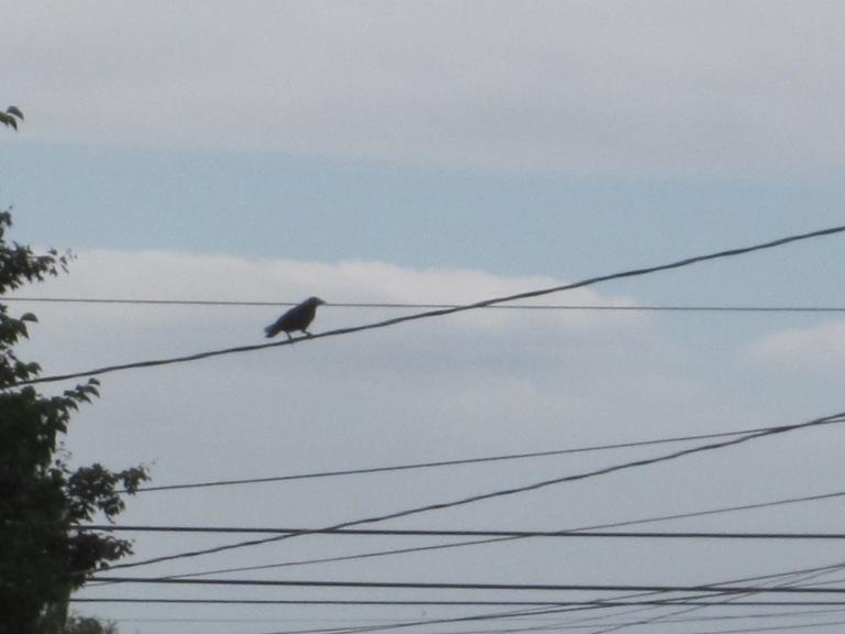 Gimpy Crow's friend mid block 39th.