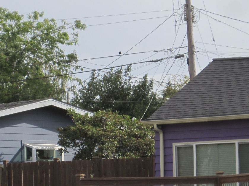 Crow over alley west of 37th Pl SW