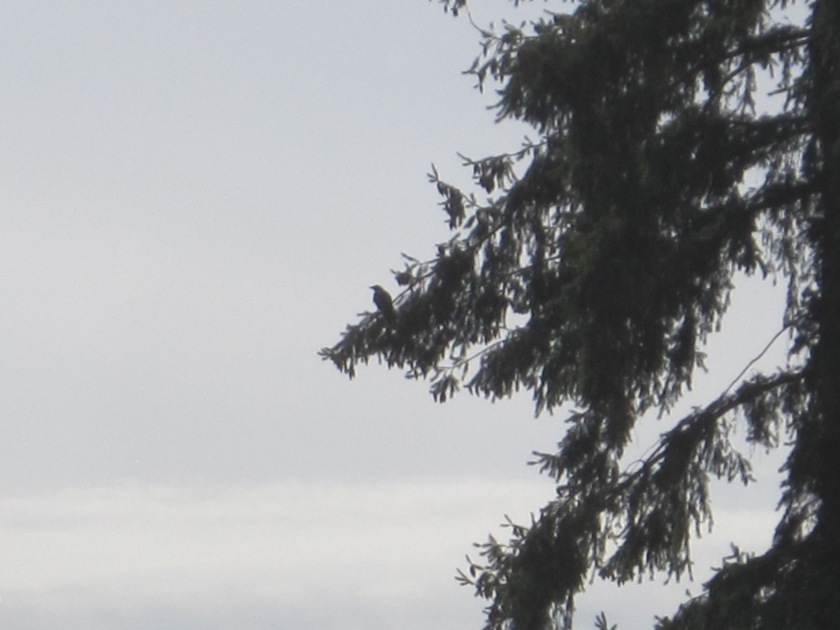 Crow in tree next to Arbor Heights School
