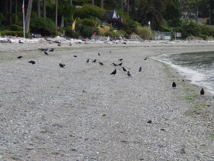 Crows south of Vashon Island Ferry Dock