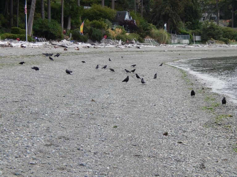 Crows south of Vashon Island Ferry Dock
