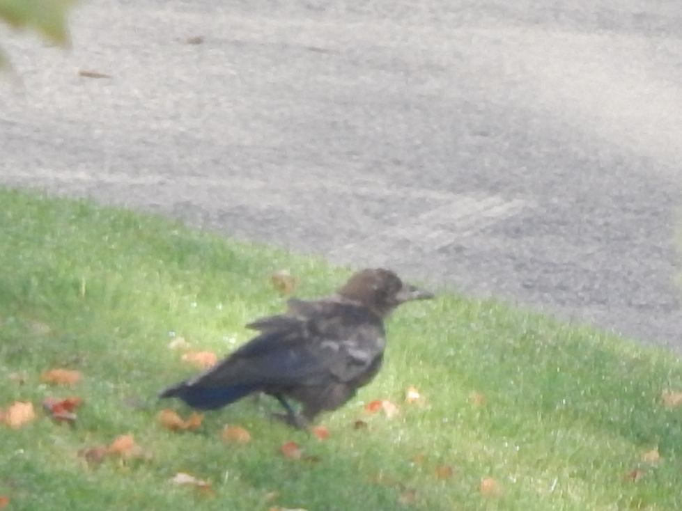 Renton young crow with lame foot