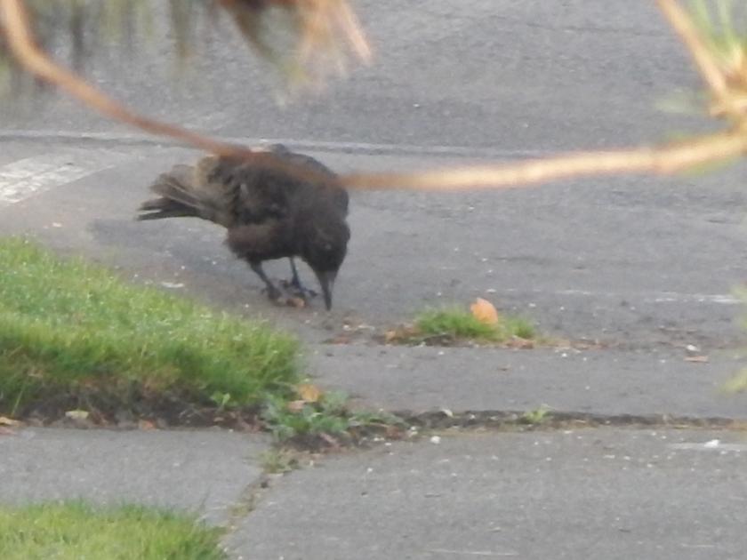 Gimpy young crow in Renton - notice left foot
