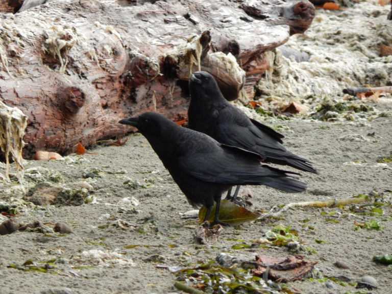 Beach Crows checking me out