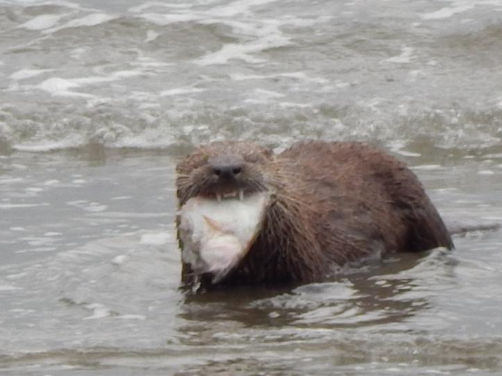 River Otter - I got teeth
