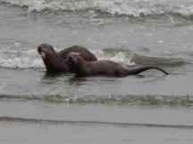 Otter pair play on beach