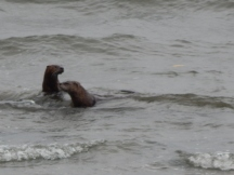Swimming in Puget Sound