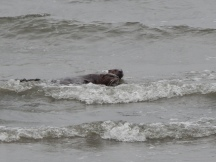 Ocean View surf with Otters