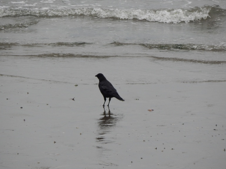 Crow hopes for otter leftovers