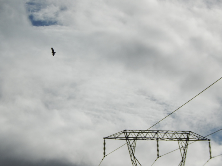 Hawk flies away looking for dinner
