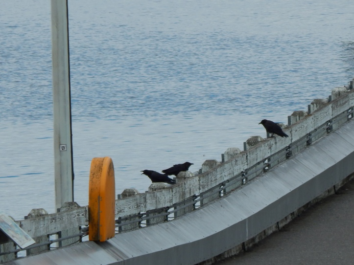 Crows hanging out at Ferry Dock