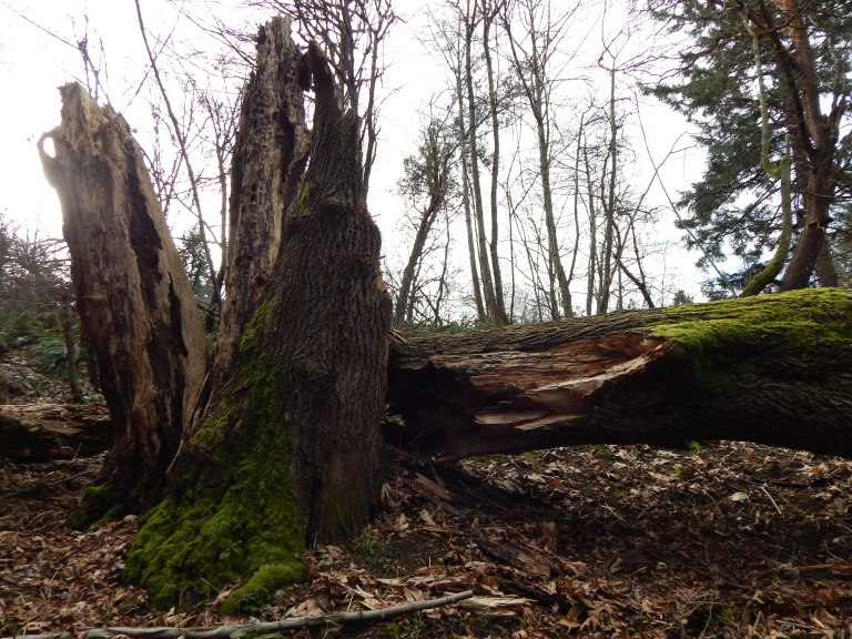 The stump is impressive in size