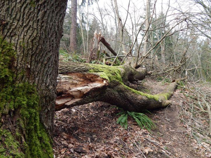 Maple tree in final slumber