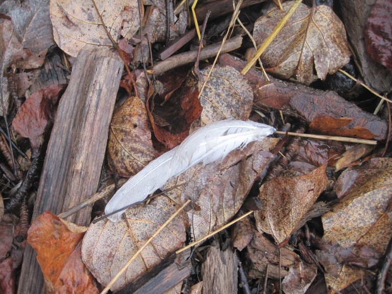 Seagull feathers - not just molting