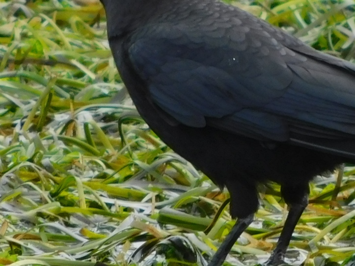 Crow at the beach showing off his feathered britches